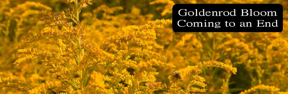 Goldenrod Bloom